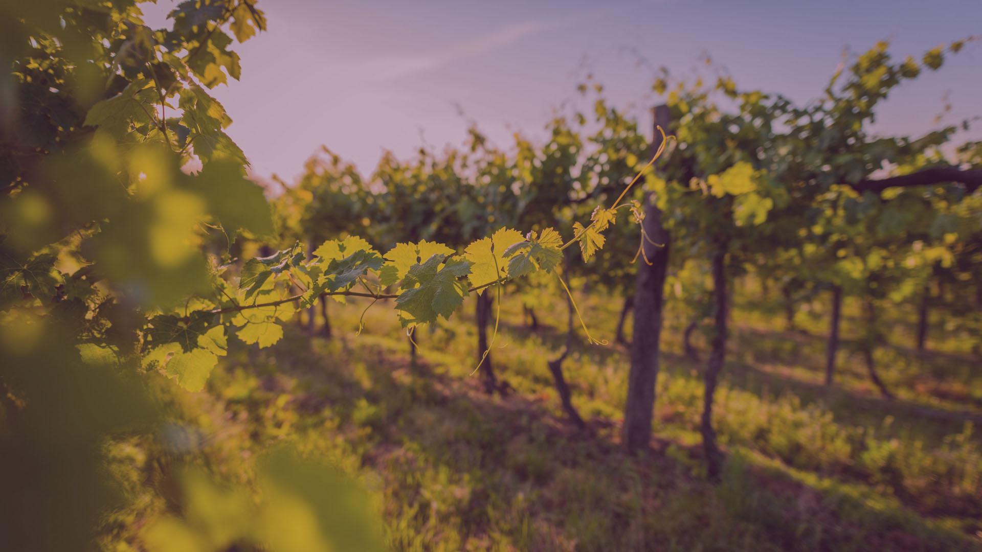 Domaine Lavagnac - Vignoble vignes levé de soleil